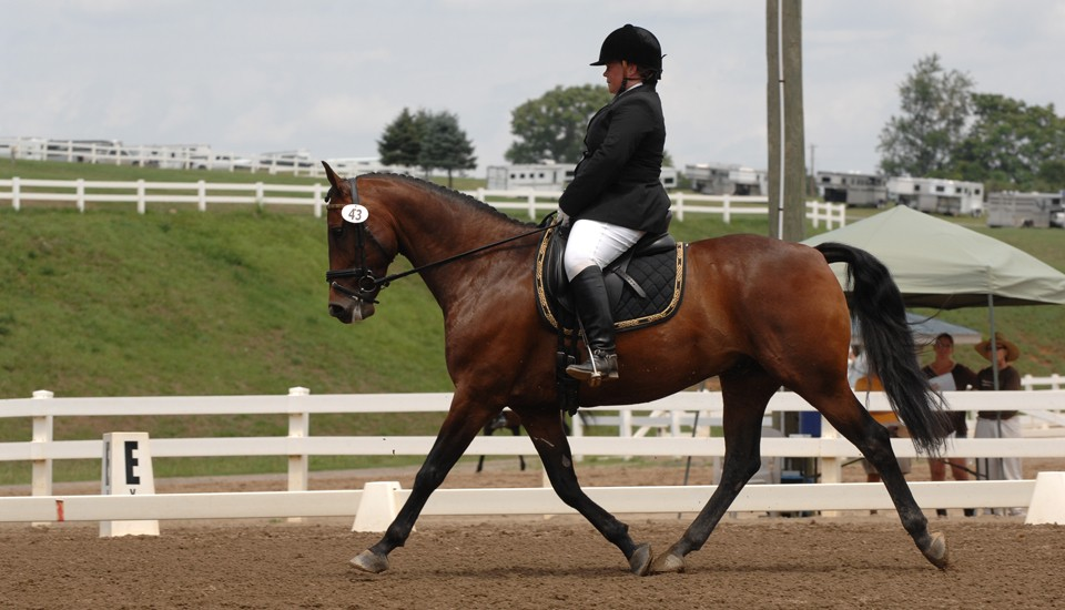 morgan-dressage-7